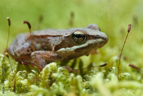 Fotografía Iberian frog (Rana iberica) leggy frog