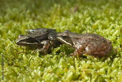Fotomural Iberian frog (Rana iberica) leggy frog