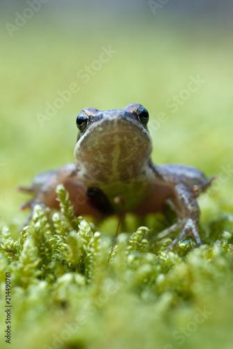 Tuinposter Kikker Iberian frog (Rana iberica) leggy frog