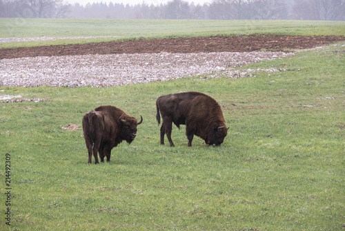 wild bison aurochs in a cultivated farmfield Wallpaper Mural