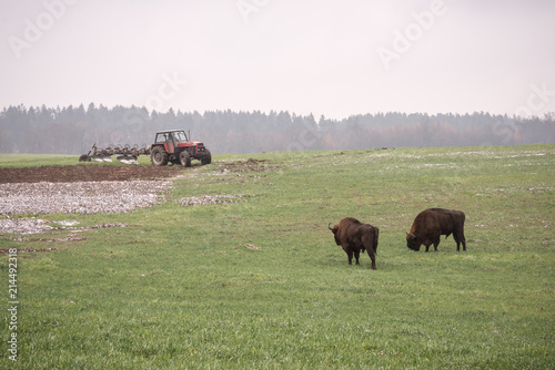 Aluminium Prints wild bison aurochs in a cultivated farmfield