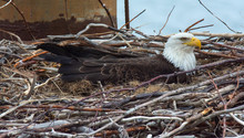 Bald Eagle Sitting In Nest