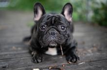 French Bulldog Playing Outside