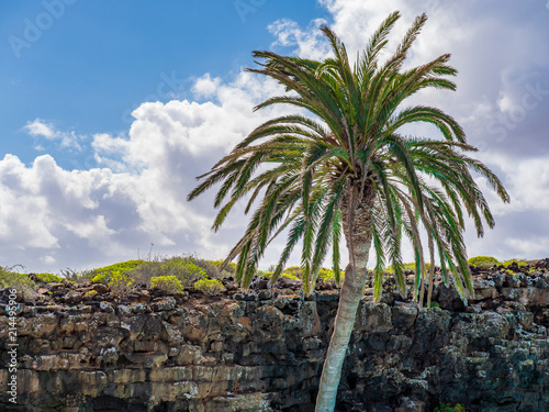 Spoed Foto op Canvas Palm boom A palm tree rises above the lava rocks on Lanzarote
