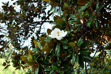 A White Flower Of Blooming Magnolia Tree