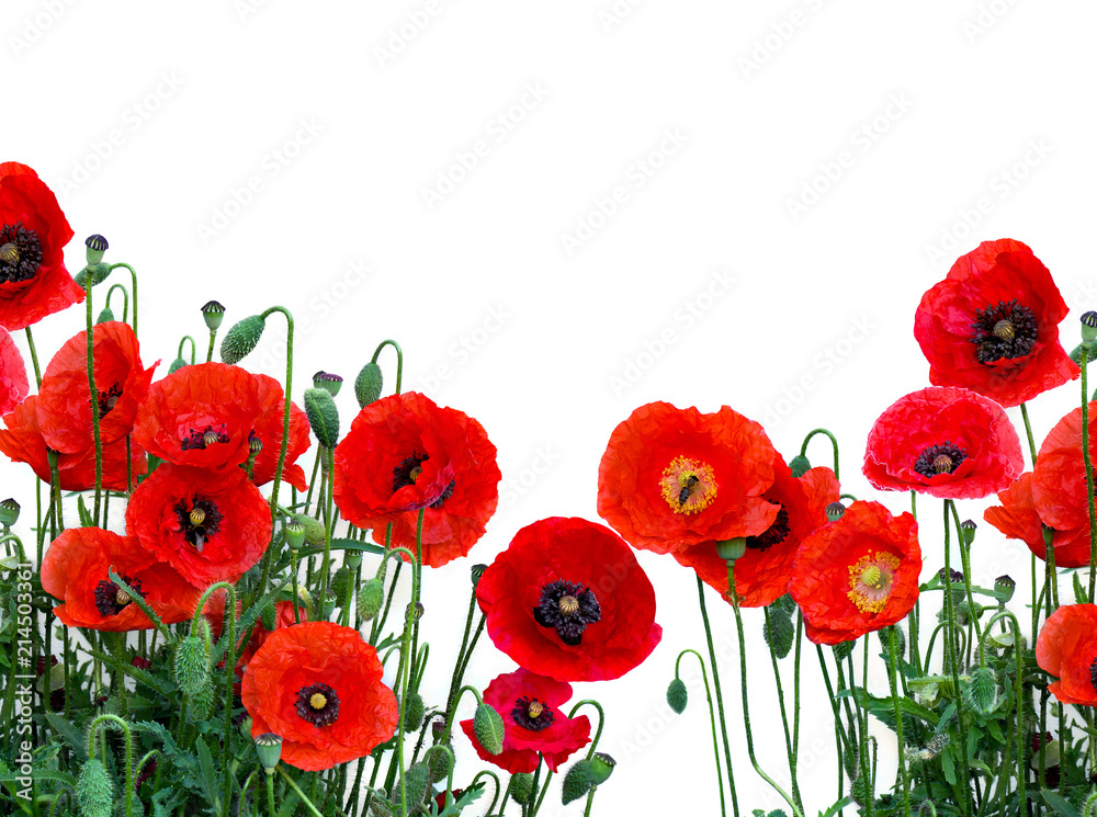 Flowers red poppies ( Papaver rhoeas, common names: corn poppy, corn rose, field poppy, red weed, coquelicot ) on a white background with space for text.