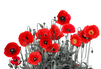 Flowers red poppies (Papaver rhoeas, common names: corn poppy, corn rose, field poppy, red weed, coquelicot ) on a white background
