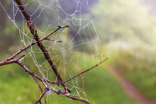 Spider Web With Drops Dew  On A Dry Branch In The Woods, A Blurred Background_