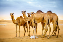 Wild Camels In The Desert