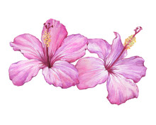 Tropical Delicate Pink Flowers Of Hibiscus (also Known As Rose Of Althea Or Sharon, Rose Mallow) Watercolor Hand Drawn Painting Illustration Isolated On A White Background.