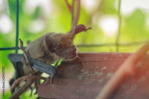 Muzzle bat close up in nature