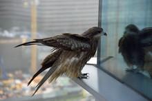 Hawk On Skyscraper Window
