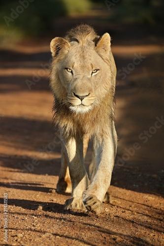 Zdjęcie XXL Portret Afrykański lew, Południowa Afryka (Panthera Leo)