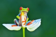 Red Eyed Frog, Agalychnis Call...
