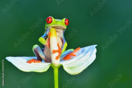 Tuinposter Kikker Red eyed frog, Agalychnis callidryas a arboreal hylid native to tropical rainforests in Central America in panama and costa rica . Mistakenly also called the Green Tree Frog