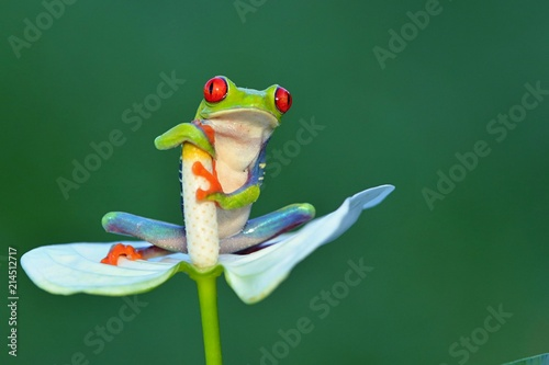Red eyed frog, Agalychnis callidryas a arboreal hylid native to tropical rainforests in Central America in panama and costa rica Poster Mural XXL