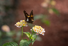 Silver-spotted Skipper Butterfly On Lantana Blooms
