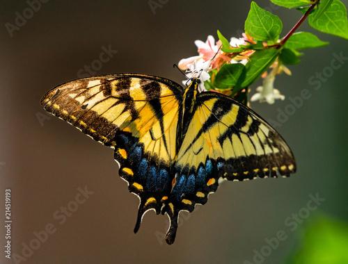 Fotografie, Obraz Eastern Tiger Swallowtail