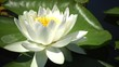 Beautiful white water lily (Nymphaea alba) flowers on the water surface in the lake, Kugurluy, Ukraine. A plant listed in the Red Book of Ukraine