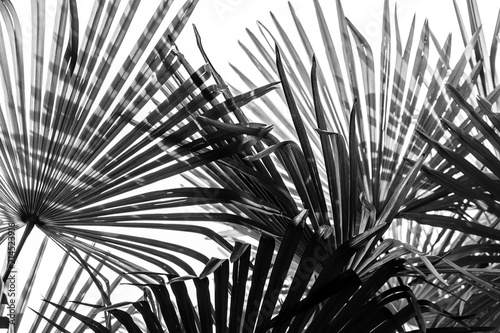 palm tree leaves background Canvas Print