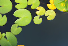 Beautiful Pond With Waterlily Leaves, Top View