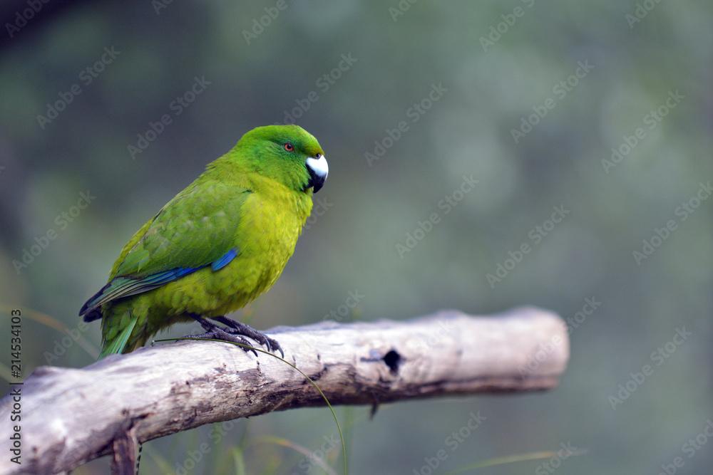 Antipodes parakeet bird sitting on a tree branch