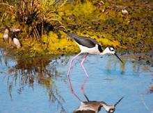Black Necked Stilt Bird Wading...