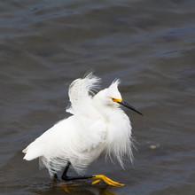 Snowy Egret With Ruffled Feath...