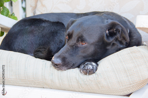 Peachy Adult Big Black Male Lab Retriever Dog Sitting On An Outdoor Interior Design Ideas Tzicisoteloinfo