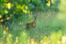 Whitetail Deer Framed By Leaves.