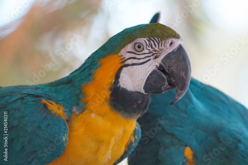 Staande foto Papegaai Vibrant gold, green and blue Macaw Parrot with a blurred background