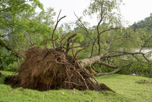 Large Tree Uprooted At River In Big Storm