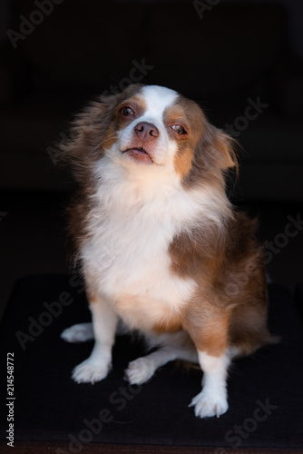 Long hair chihuahua sitting - Buy this stock photo and