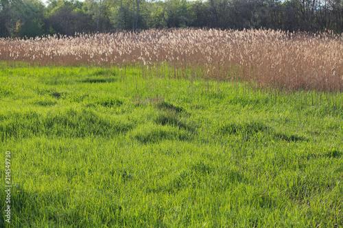 Foto op Aluminium Cappuccino Reeds