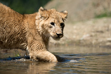 Young Lion Cub Drink Water