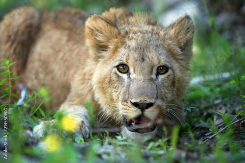 Zdjęcie XXL Młode lwiątko w środowisku naturalnym
