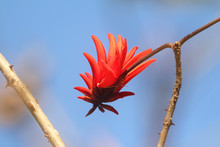 Coral Tree Flower Close Up