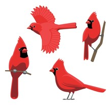 Bird Poses Northern Cardinal V...