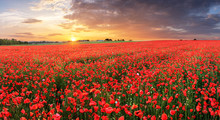 Poppy Flowers Meadow And Nice Sunset Scene