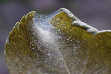 Spider Mite Colony, Tetranychus. Rose Leaf Covered With Microscopic Web Of Spider Mite Colony , Plant Disease