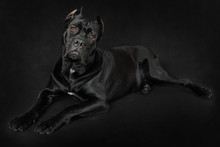 Cane Corso Dog Lying On A Blac...