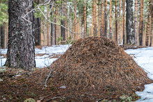 Ant Hill In A Pine Forest In E...