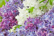 lilac flowers bunch