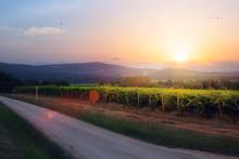 Sunrise Over Grape Vineyard; Summer Winery Region Morning Landscape
