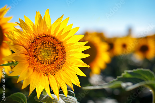 Obraz Beautiful field of sunflowers. Rural landscapes under bright sunlight. Background of ripening sunflower. Rich harvest. - fototapety do salonu