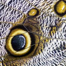 Giant Owl Butterfly  - Caligo ...