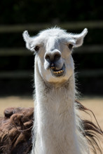 Dumb Animal. Cute Crazy Llama Pulling Face. Funny Meme Image Of An Unusual Pet With An Open Mouth And A Stupid Looking Expression.