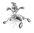 canvas print picture - Kartoffelpflanze.aus: Marie Adenfeller, Friedrich Werner: Illustriertes Koch- und Haushaltungsbuch, Friedrichshagen 1899/1900, S. 432, Fig. 543.