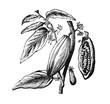 canvas print picture - Zweig und Frucht des Cacaobaumes.aus: Marie Adenfeller, Friedrich Werner: Illustriertes Koch- und Haushaltungsbuch, Friedrichshagen 1899/1900, S. 119, Fig. 184.