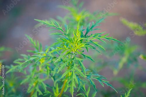 Photographie American common ragweed or Ambrosia artemisiifolia causing allergy